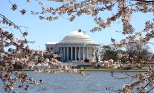 cherry-blossoms-jefferson